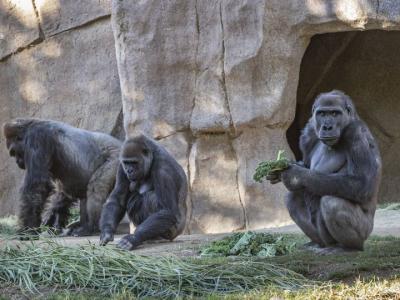 Зоопаркта эки горилла коронавируска чалдыкты